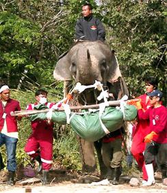 Elephant handlers were given special permission to put their animals back to work